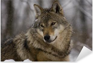 Sticker Pixerstick Portrait d'un loup gris européen (Canis lupus lupus)