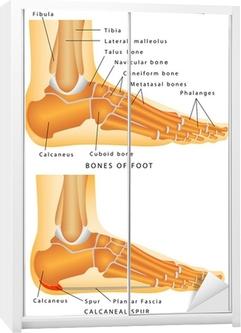 Sticker pour armoire Os du pied et de la cheville