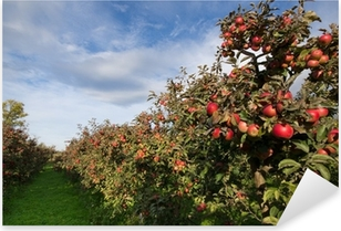Ripe apples on trees in orchard Pixerstick Sticker