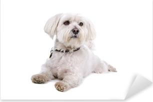 Pixerstick Sticker Schattige shih tzu hond liggend op de vloer
