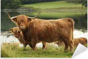 Scottish highland cow in field Pixerstick Sticker
