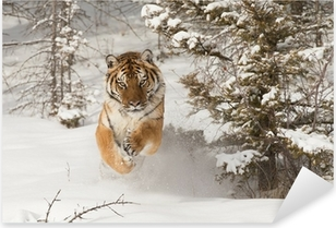 Siberian Tiger running in snow Pixerstick Sticker