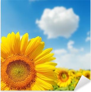sunflower closeup on field and blue sky Pixerstick Sticker