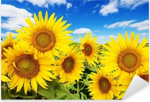 sunflower field and blue sky with clouds Pixerstick Sticker