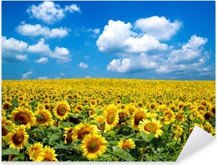 sunflower field Pixerstick Sticker