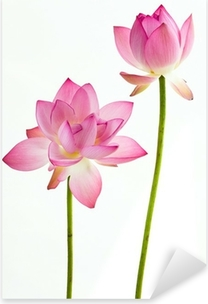 Twain pink water lily flower (lotus) and white background. Pixerstick Sticker