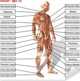 Vector human man anatomy with muscles text Pixerstick Sticker