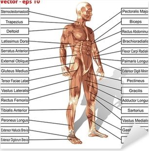 Pixerstick Sticker Vector menselijk man anatomie met spieren tekst