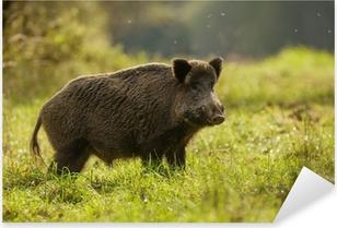 Wild boar, backlit, foraging for apples Pixerstick Sticker