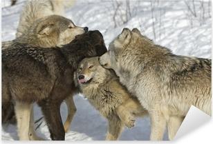 Wolf pack dominance fight. Northern Minnesota Pixerstick Sticker