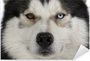 Sticker Pixerstick Yeux vairons du siberian husky