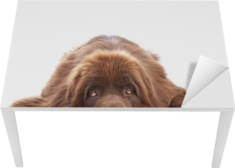 Brown newfoundland dog isolated on white background Table & Desk Veneer