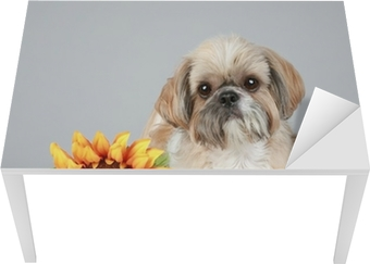 Shih Tzu dog with sunflower