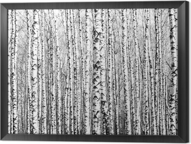 Tableau en Cadre Troncs de printemps de bouleaux noir et blanc