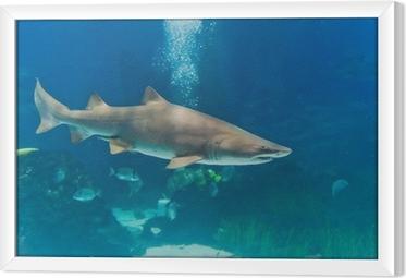 Tableau encadré Requin taureau (Carcharias taurus) sous-marine près Portra