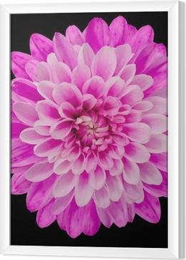 Tableau encadré Rose fleur de chrysanthème isolés sur fond noir
