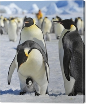 Tableaux premium Empereur pingouin