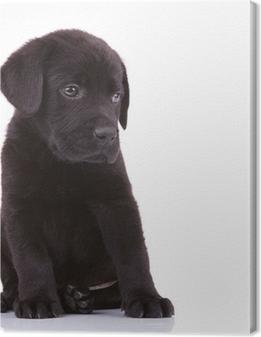 Tableaux premium Timide labrador retriever chiot