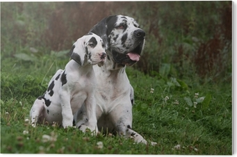 Poster Great Dane Et Son Chiot Dogue Allemand Pixers Nous Vivons Pour Changer