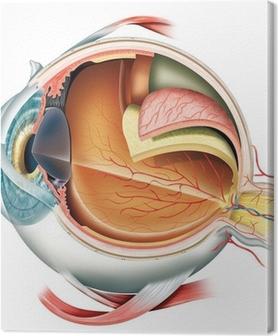 Tableau sur toile Anatomie de l'oeil