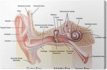 Tableau sur toile Anatomie de l'oreille