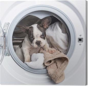 Tableau sur toile Bouledogue français chiot à l'intérieur de la machine à laver