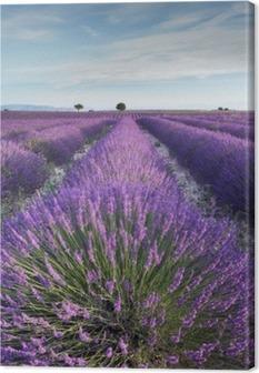 Tableau sur toile Champ de lavande en Provence pendant les heures de la matinée