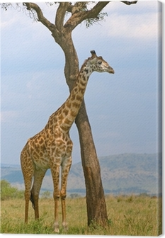 Tableau sur toile Girafe et un arbre, Masai Mara, au Kenya