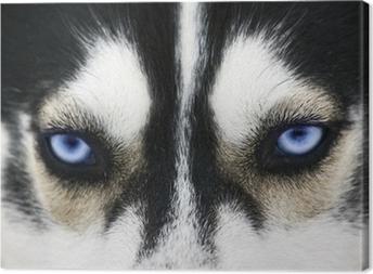 Tableau sur toile Gros plan sur les yeux bleus d'un chien