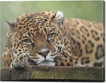 Tableau sur toile Jaguar captif air solennel, le costa rica