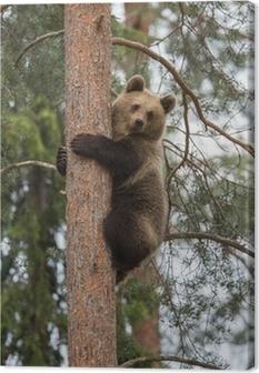Tableau sur toile L'ours brun accrobranche dans la forêt Tiaga
