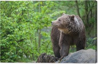 Tableau sur toile L'ours brun (ursus arctos lat.)