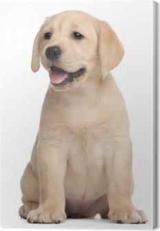 Tableau sur Toile Labrador puppy, 7 semaines, en face de fond blanc