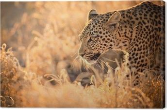 Tableau sur toile Leopard marche au coucher du soleil