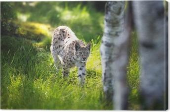 Tableau sur toile Lynx se faufiler dans la forêt