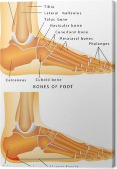 Tableau sur toile Os du pied et de la cheville