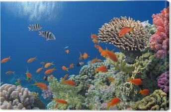 Tableau sur toile Poissons tropicaux sur les récifs coralliens de la mer Rouge
