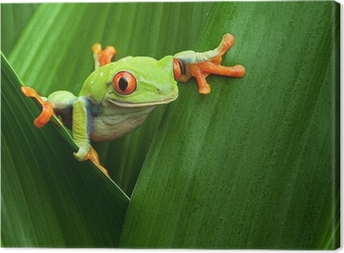Tableau sur toile Red eyed tree frog