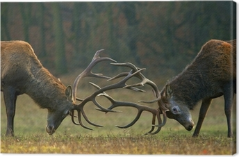 Tableau sur toile Rouge lutte de cerf