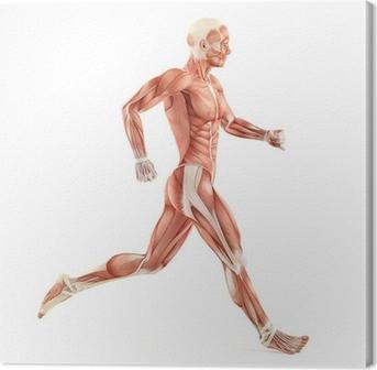 Tableau sur toile Système muscles de l'homme en cours d'exécution de l'anatomie isolé sur fond blanc