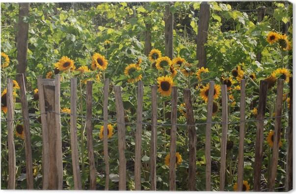 Tableau sur toile Tournesols derrière une clôture de jardin • Pixers ...