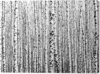 Tableau sur toile Troncs de printemps de bouleaux noir et blanc