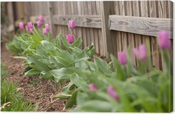 Tableau sur Toile Tulipes pourpres long d\'une clôture dans le jardin ...