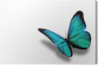 Tableau sur Toile Turquoise papillon, isolé sur fond blanc