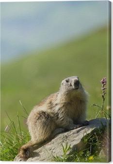 Tableau sur toile Une marmotte mignon dans les Alpes