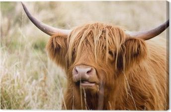 Tableau sur toile Vache highland