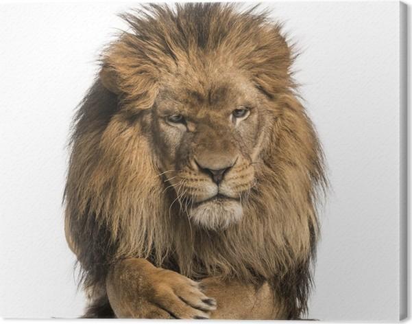 tableau sur toile vue de face d 39 un lion couch les pattes traversant panthera leo pixers. Black Bedroom Furniture Sets. Home Design Ideas