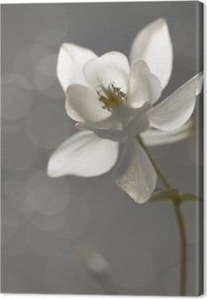 Tableau sur toile Weiße Akelei (Aquilegia) - Trauerkarte