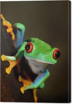 Tableau sur toile Yeux rouges grenouille grenouille aux yeux rouges dans le terrarium