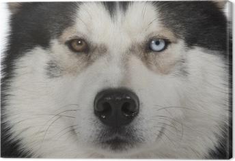 Tableau sur toile Yeux vairons du siberian husky